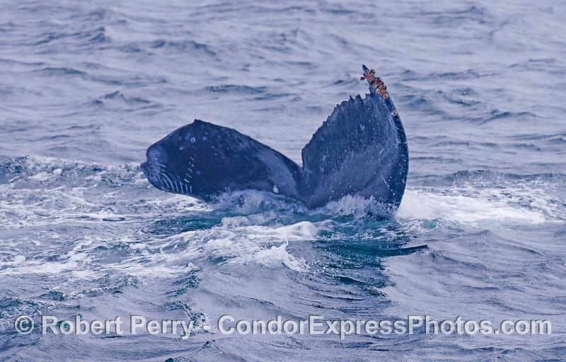 Tail fluke of a Humpback Whale.