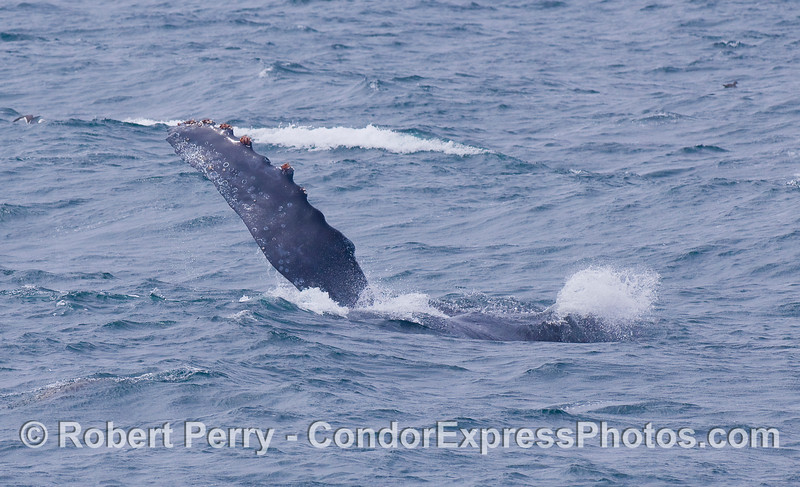 A Humpback Whale rolls around and raises its giant pectoral fin high in the air.