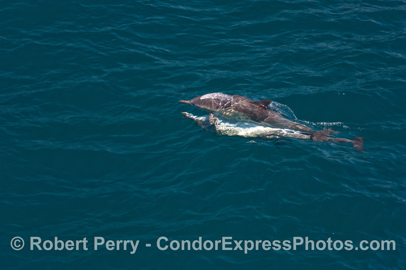 Image 1 of 3:  Common Dolphins mating.
