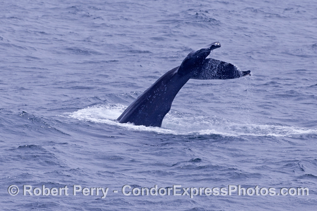 A Humpback Whale kicks up its tail high in the air.