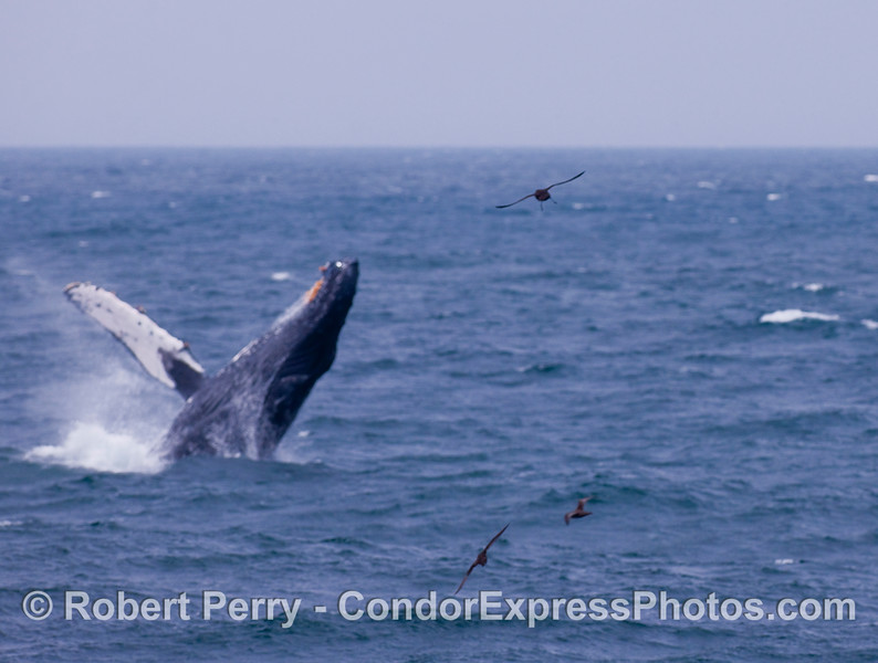 Image 1 of 2:  Humpback Whale breach -  taking off!  Three Sooty Shearwaters (Puffinus griseus) can be seen, and this whale is a bit out of full sharpness, but was so interesting I decided to post it up anyway.