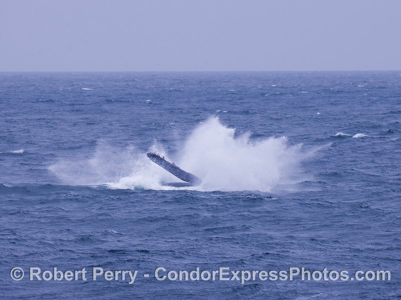 Image 2 of 2:  Humpback Whale breach - splashdown!