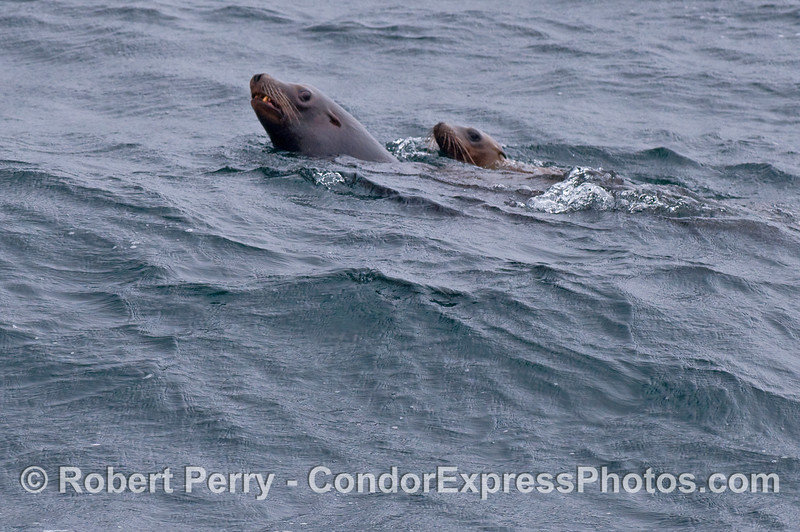 Two California Sea Lions, one adult and one juvenile.