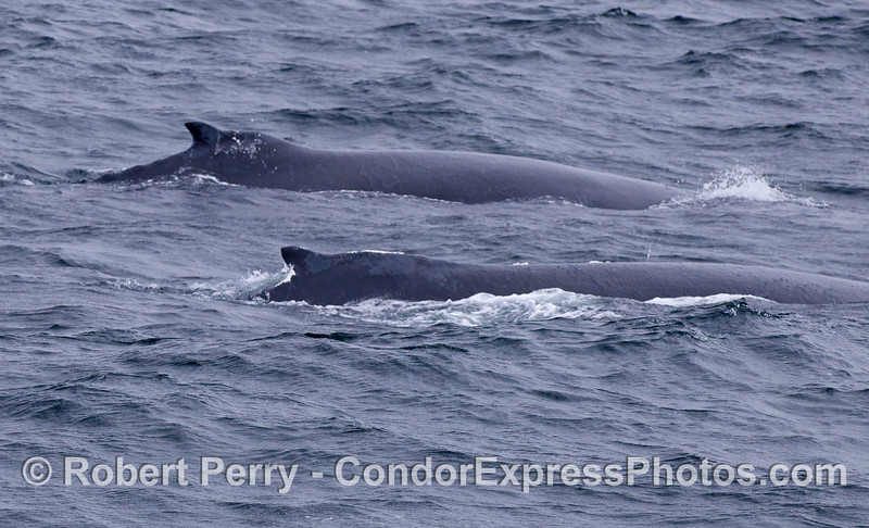 Two Humpback Whales, side-by-side.