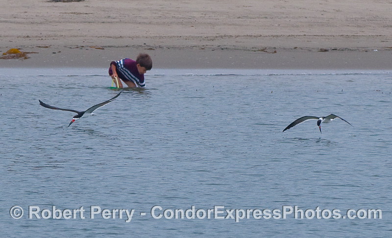 Two Black Skimmers on patrol over the shallow waters of West Beach, Santa Barbara Harbor, as a boy digs for submarine treasure.
