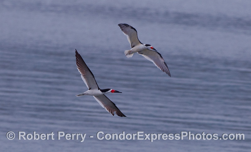 Two Black Skimmers in flight.