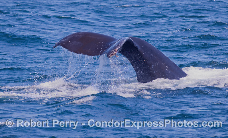 Another Humpback Whale tail fluke waterfall.