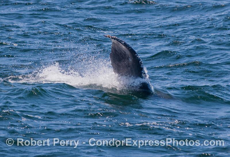 Giant shark fin?  No.  It's a sideways Humpback Whale's tail fluke.