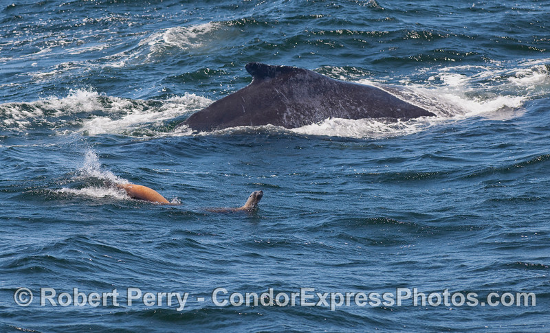 Two California Sea Lions pester a Humpback Whale.