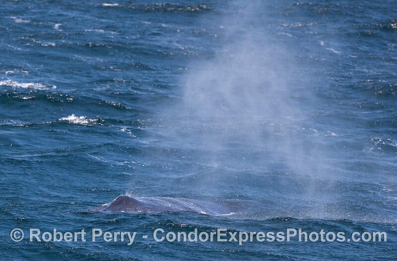 Strong winds blow the spray from this Humpback Whale's spout.  The whale is headed obliquely towards the camera lens.