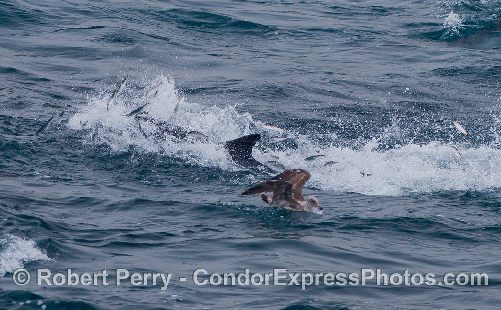 Lots of anchovies leaping out of the water in their attempt to escape the jaws of a speedy Common Dolphin.