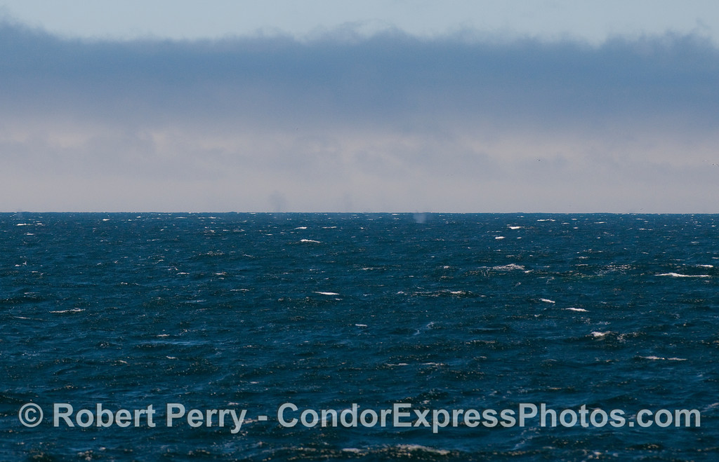 Tips for aspiring whale spotters:  Here's a look at the windy, choppy ocean surface north of San Miguel Island.  It is a view from the flying bridge of the Condor Express, where the captain and crew members look for whales.  The image has been cropped and enlarged to show the tall Blue Whale spouts in the middle.  On this day, Captain Mat was spotted these spouts at an approximate distance of 4 miles by looking for the darker, grey spouts against the lighter cloudy background.  Polarizing sunglasses, and polarizing camera lens filters, help a lot.