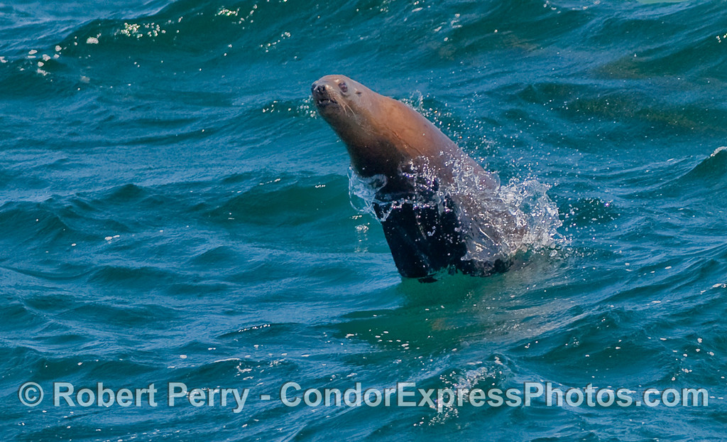 Image 1 of 2:  A California Sea lion exhibits its leaping abilities.