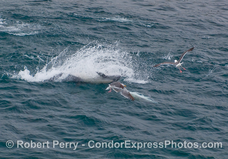 Upside-down feeding leap - Common Dolphin hunting.  Anchovies can be seen jumping to the right.