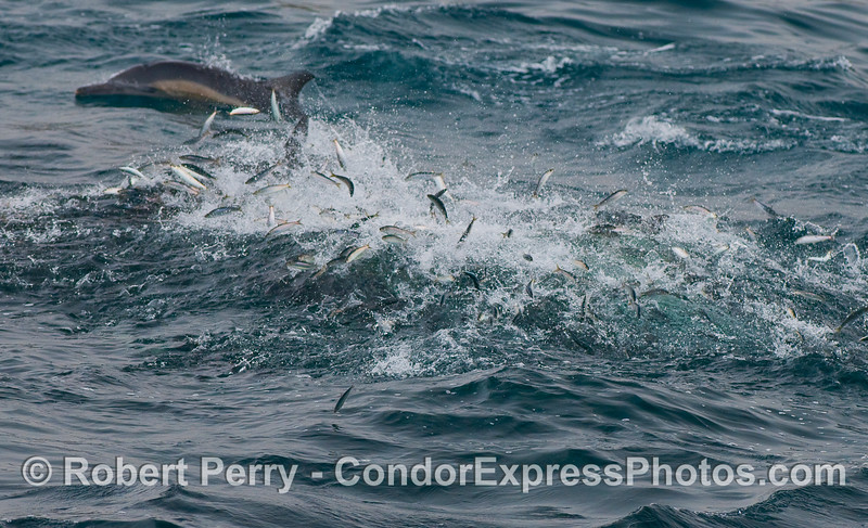 A few dozen Common Dolphins are seen here slashing through schools of bait fish (Northern Anchovies, Engraulis mordax).  The anchovies are leaping out of their water for their lives.  This is an example of one of the main food chains in the Channel.