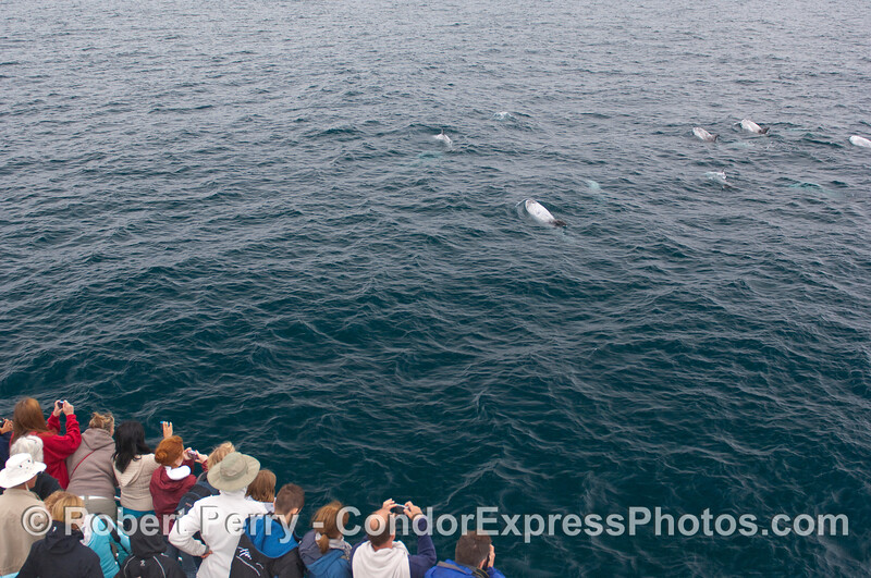 Whalers on board the Condor Express shoot part of a 40-member group of Risso's Dolphins near the bow.