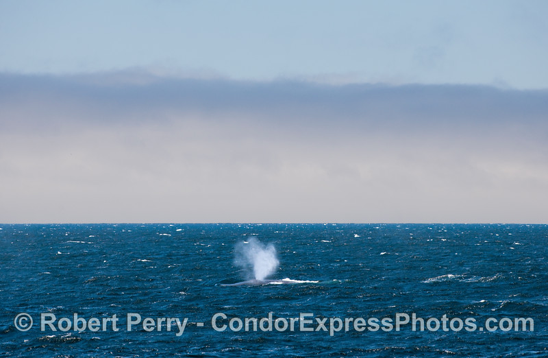 Blue Whale on a choppy and windy sea,