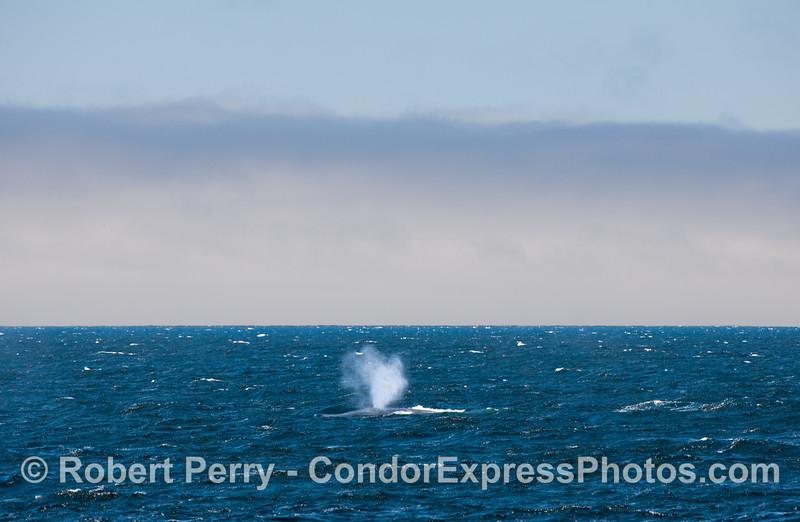 Blue Whale on a choppy and windy sea,