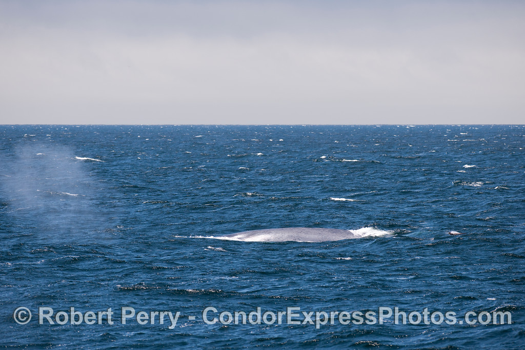 Notice how far the spray from this Blue Whale's spout has blown to the left (east).