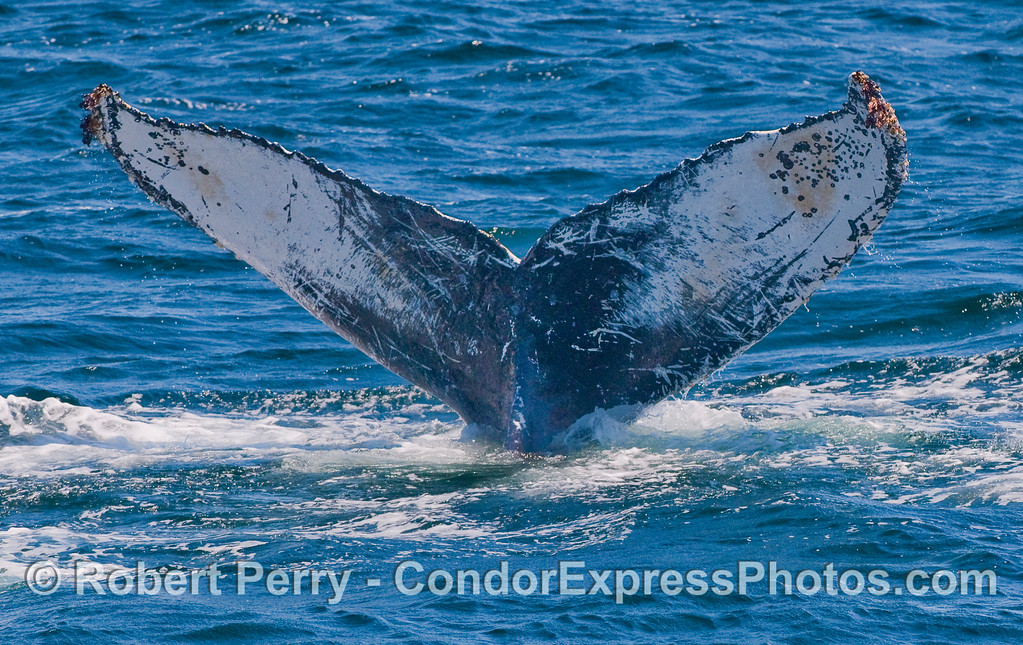 Ventral surface of tail fluke - Humpback Whale.