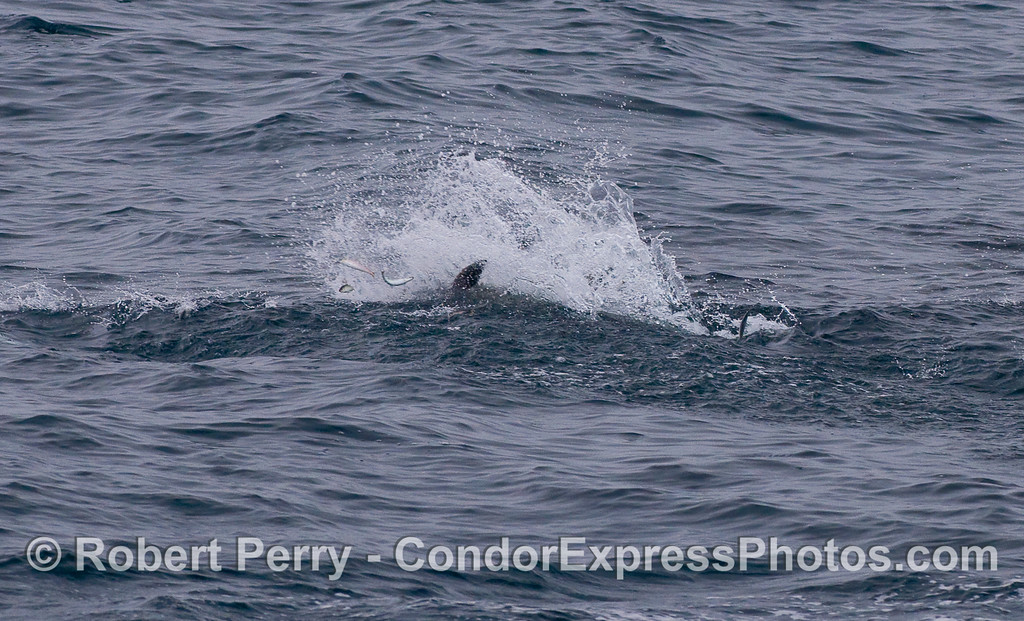 Fish jumpin' !  Common Dolphin feeding on Northern Anchovies (Engraulis mordax).