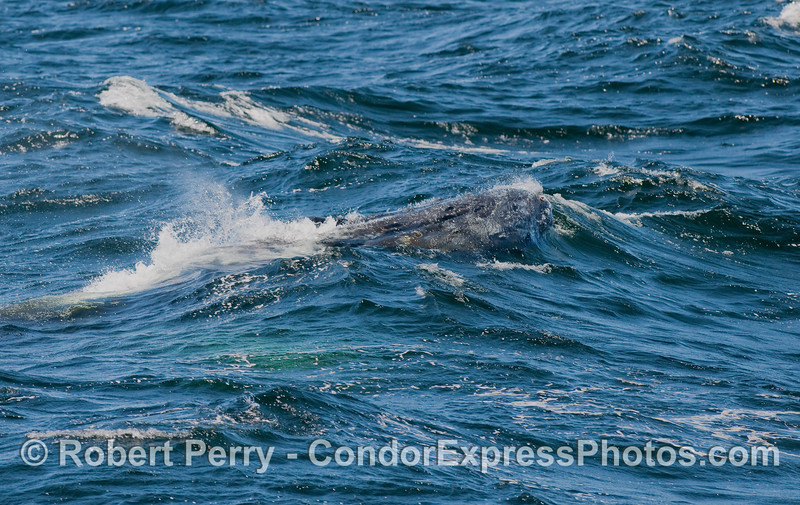 A huge Humpback Whale begins to bust out of a wave.  The tip of the rostrum, edge of mouth and tubercles are visible.