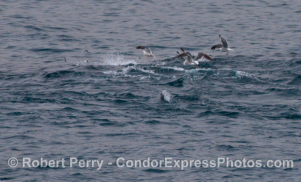 Fish jumpin' ! Common Dolphins feeding on Northern Anchovies (Engraulis mordax) with Western Gulls (Larus occidentalis) waiting for the scraps.