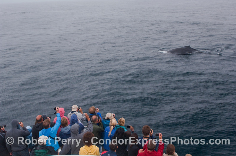 Whalers on the Condor Express get close to a friendly Humpback Whale.