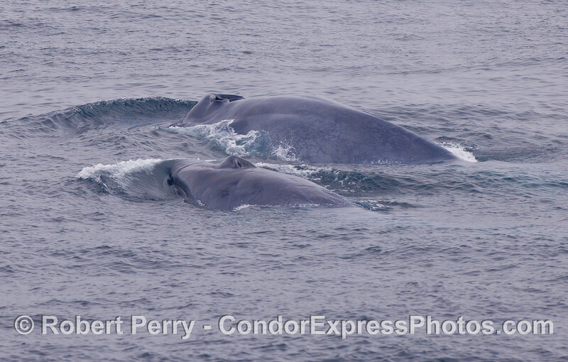 Two more giants - Blue Whales side by side.