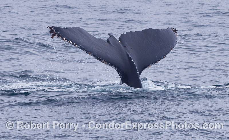 This Humpback Whale tail is badly chewed-up, perhaps from an Orca attack.