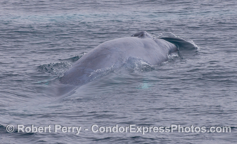A Blue Whale pushes a bow wave ahead of its rostrum.