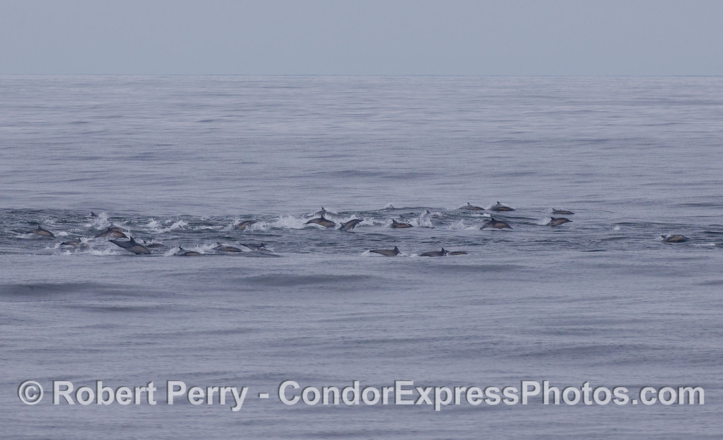 Masses of Common Dolphins on the move.
