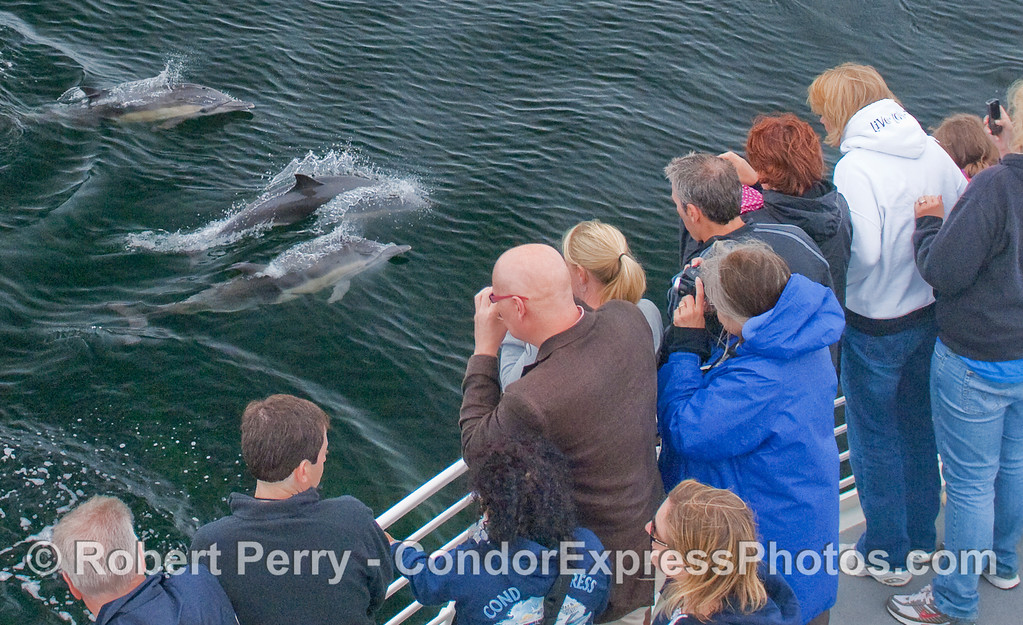 Common Dolphins visit the whalers so they can shoot them (with cameras, of course).