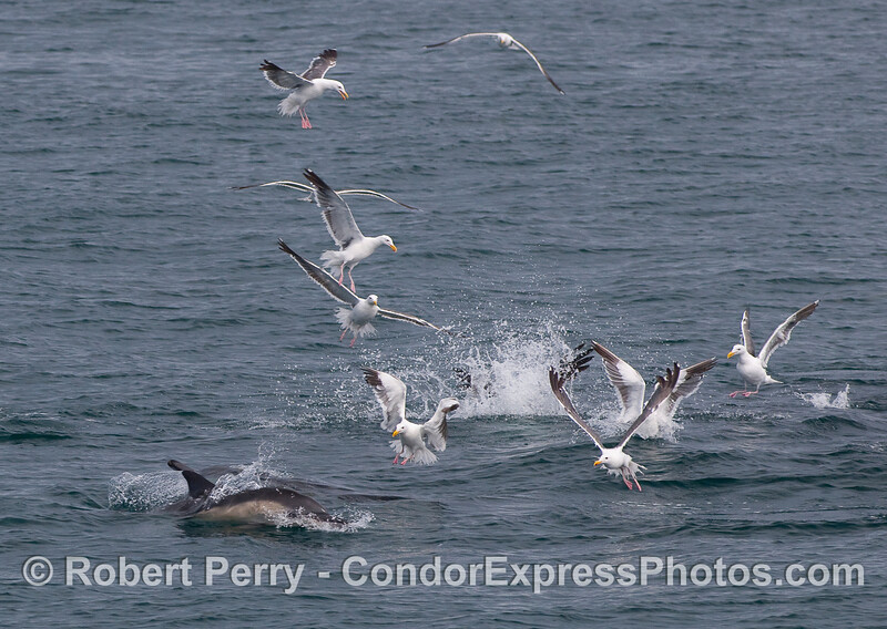 Common Dolphins feeding.  This always attracts a crowd.