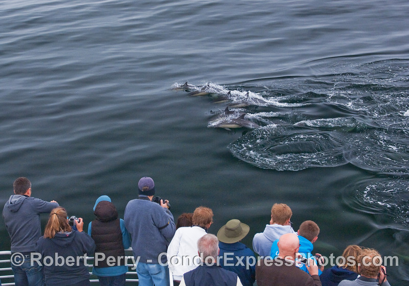 More friendly Common Dolphins.