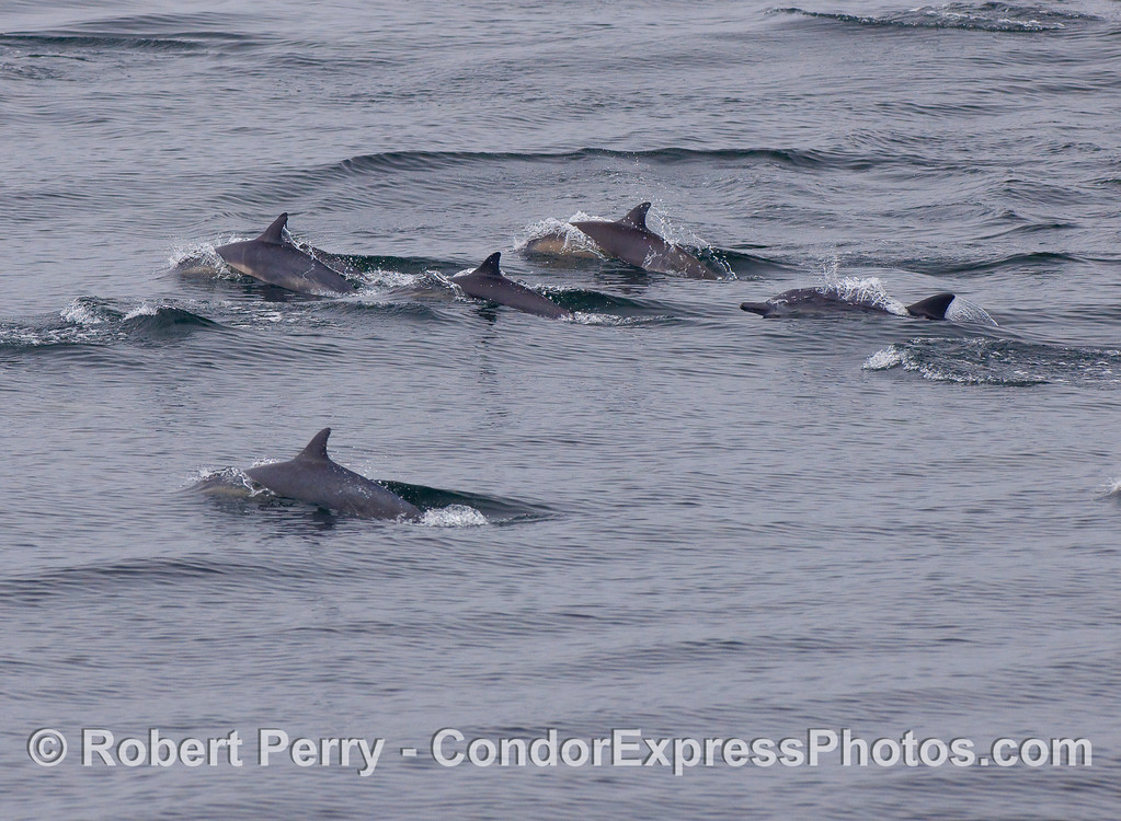 Closer look at a batch of Common Dolphins.