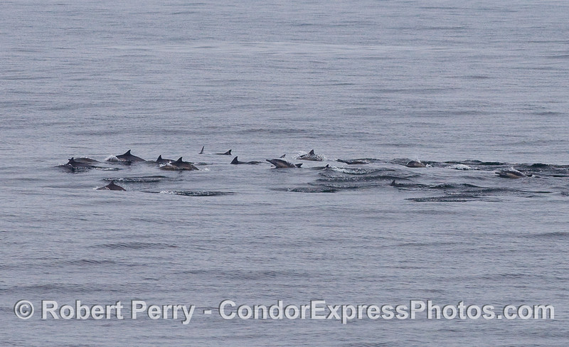 A long line of Common Dolphins.