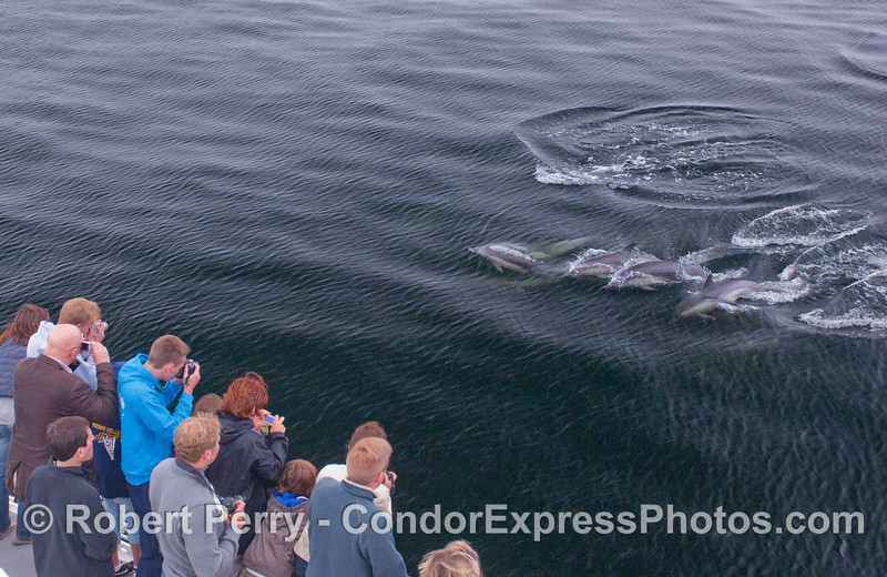 Friendly Common Dolphins come by and introduce themselves.