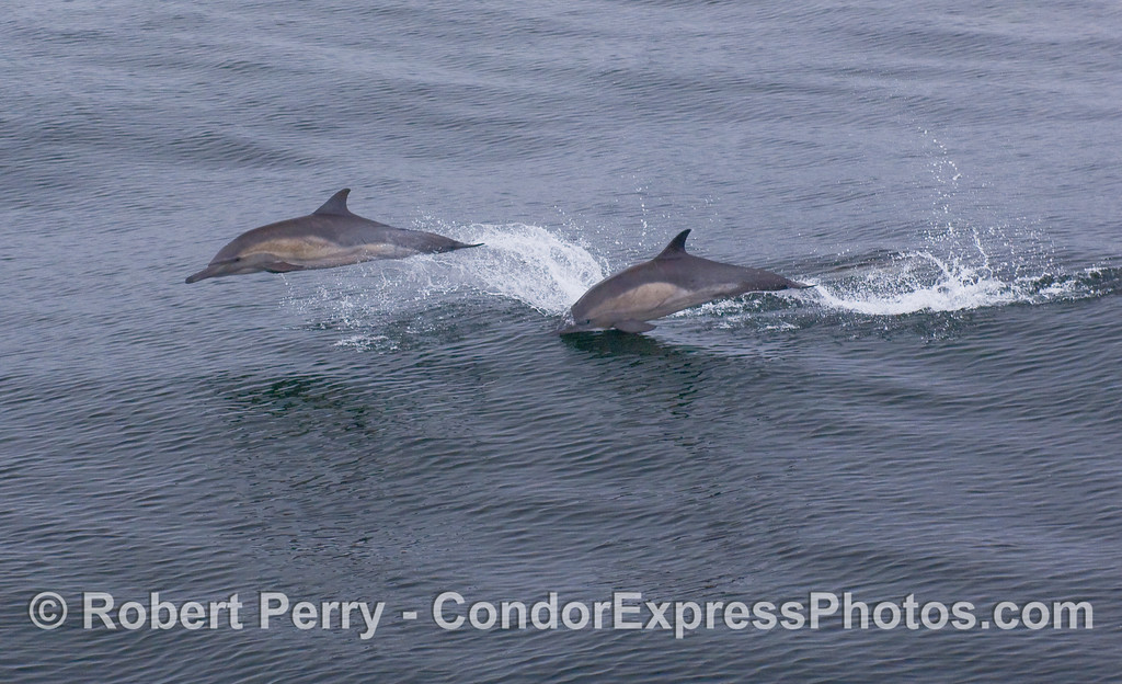 Two leaping Common Dolphins.
