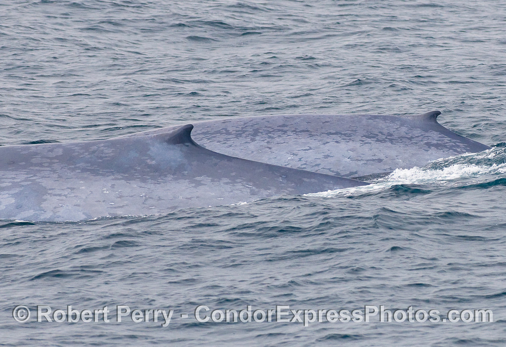 Two giant Blue Whales, side by side.