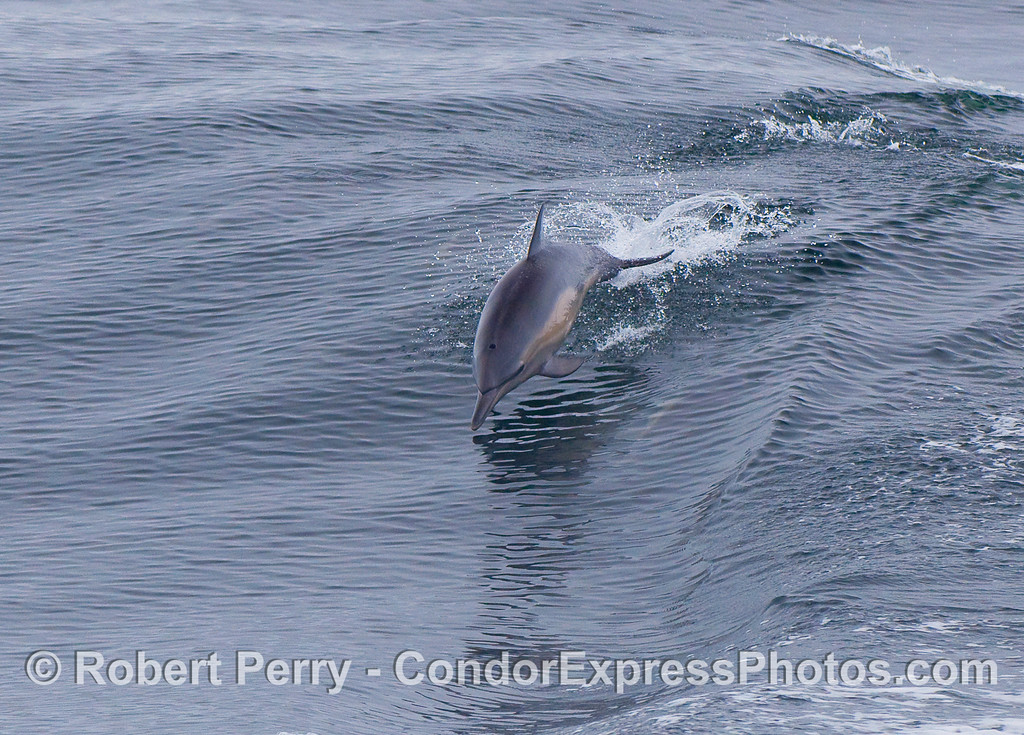Common Dolphin leaping.