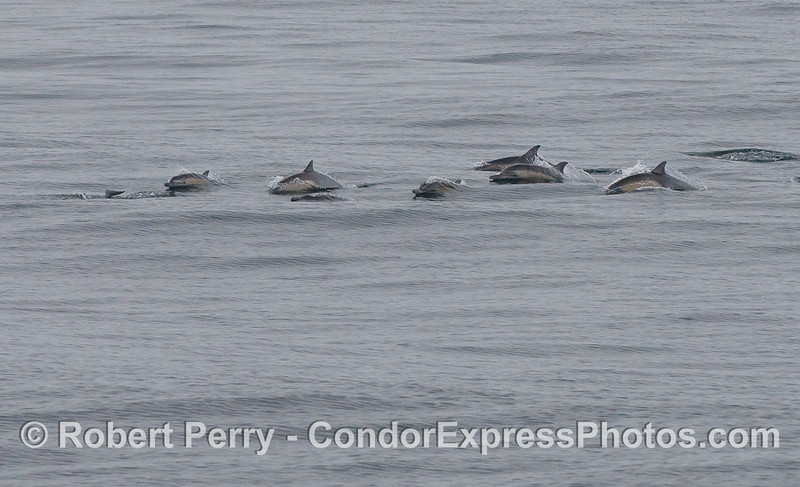 Common Dolphins on the move.