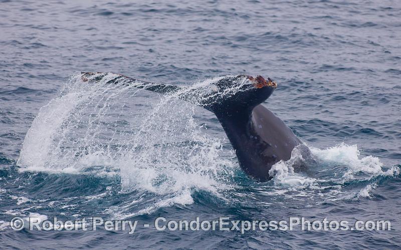 A large Humpback Whale kicks up its tail flukes.