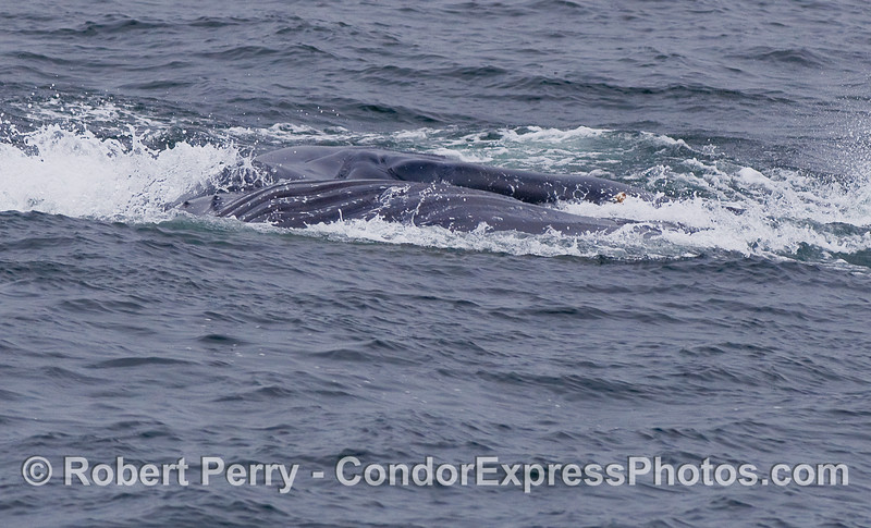 Another surface lunge-feeding Humpback Whale, moving from left to right, and laying on its left side.