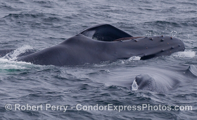 Two Humpback Whales, one is sideways lunge feeding on the surface.  We are looking at the tip of the dorsal fin of the whale in the lower right corner, and the top of the head/rostrum of the upper whale.  The mouth is open and baleen can be seen in the upper jaw.