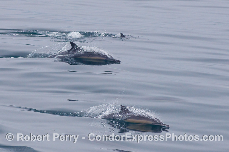 Common Dolphins streak across the mirror glass.