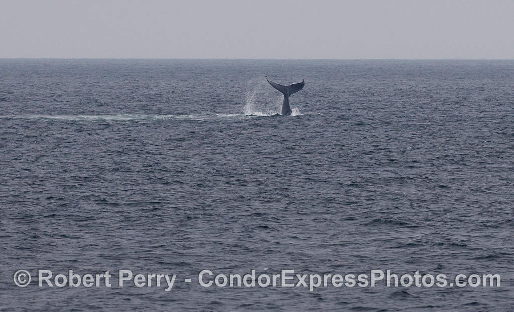 A Humpback Whale throws its tail around and makes a big scene on the water.