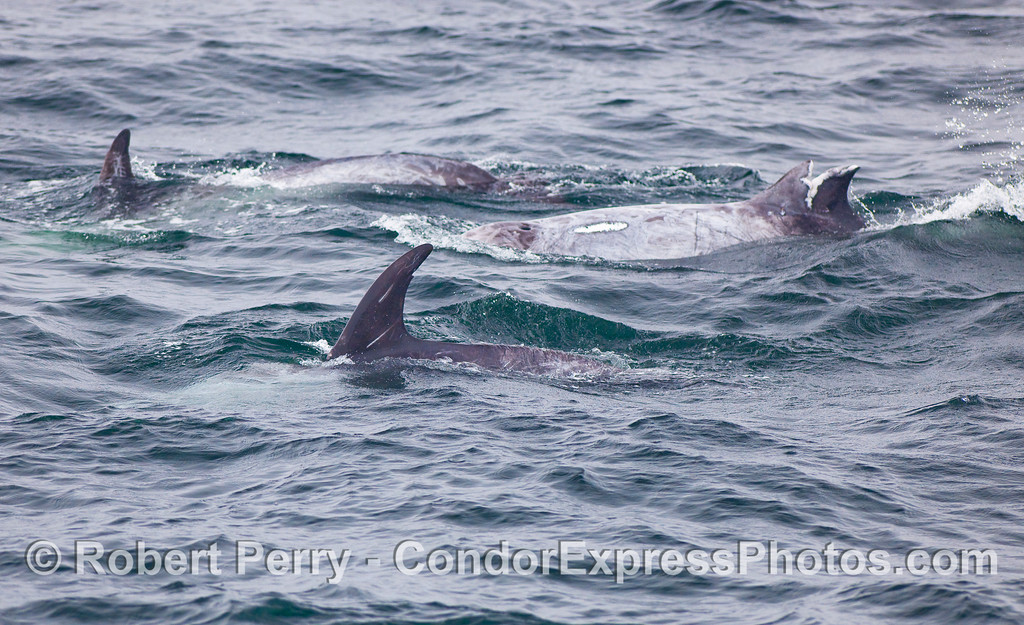 Three Risso's Dolphins, one with a damaged dorsal fin and scar on its back.