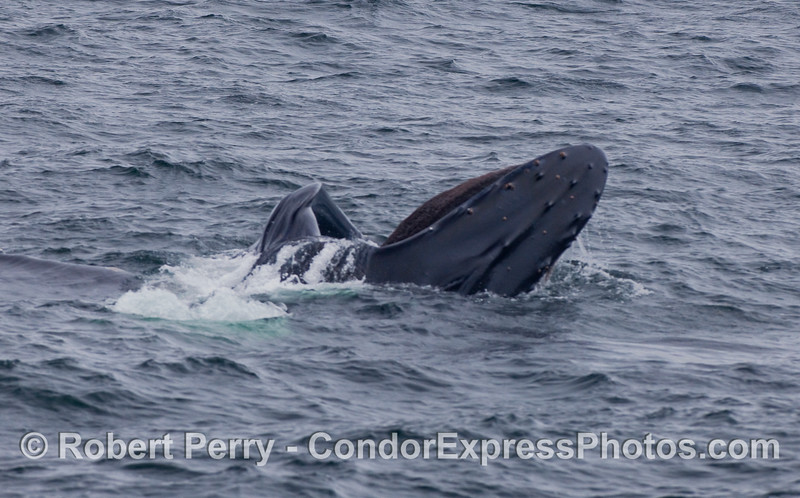 A nearly vertical surface lunge feeding maneuver by this hungry Humpback Whale.