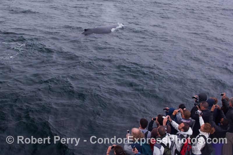 Whalers shoot a friendly Humpback Whale.